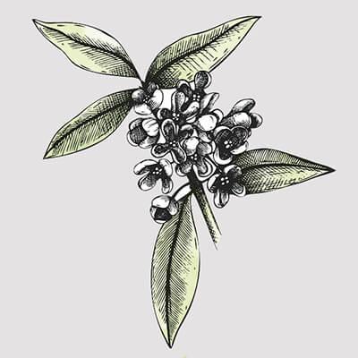 Osmanthusblüte